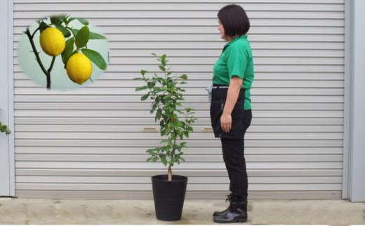 [№5656-1728]レモンの木鉢植え(黒プラスティック鉢・27cm)※配送不可:北海道、沖縄、離島