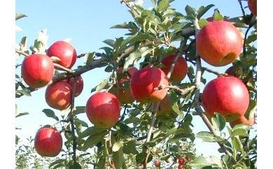<先行予約>朝日町産りんご〈シナノスイート〉5kg【10月中旬発送】