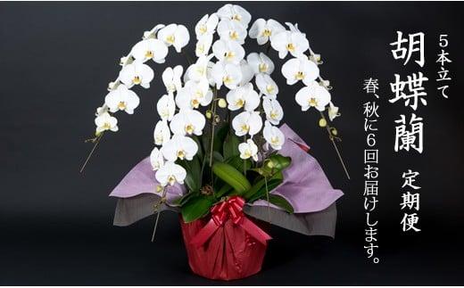 【定期便】 (年6回お届け) 大輪 胡蝶蘭 年6回お届け便