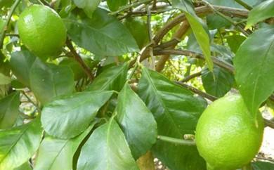 [№5850-0230]特選ハウスグリーンレモン 約2.3kg 香川県認証エコファーマー栽培