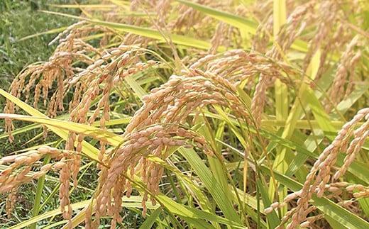 長岡市の山古志地域で栽培されたコシヒカリ。
