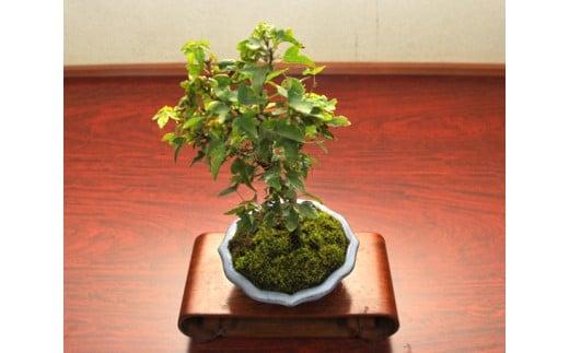 【11100-0041】かえで盆栽(小型サイズ)樹齢5年程度