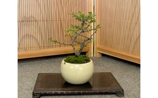【11100-0043】長寿梅盆栽(小型サイズ)樹齢5年程度