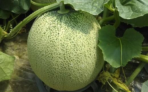 【新規就農者応援品】やなぎさわ農園ハウスメロン(北海道赤井川村)