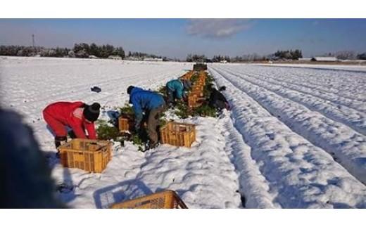 雪の下から人参の収穫です
