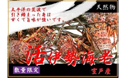 天然(活)伊勢海老1kg(3~5匹)
