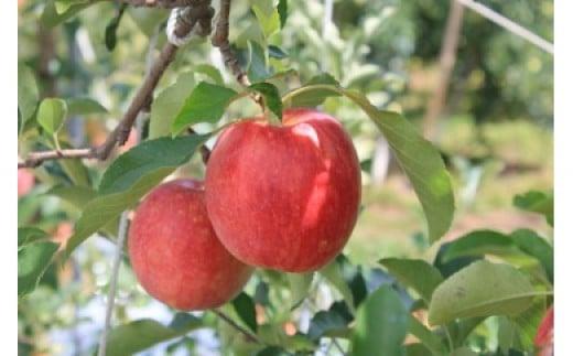 【010-12】【数量限定!】シナノドルチェ3キロ さっぱりとした酸味が楽しめる信州のりんご(りんご・リンゴ・林檎)