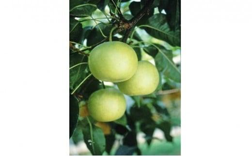 [№5850-0429]ホウナンの梨(二十世紀梨)約5kg 化粧箱