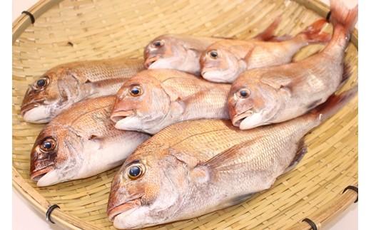 鯛を水揚げしたその日に発送。ウロコ・内臓は処理済み。大きい鯛はお刺身に最適。
