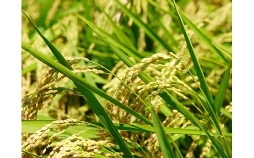 有機肥料を使用することで土壌を育成。環境にも優しい米づくり。