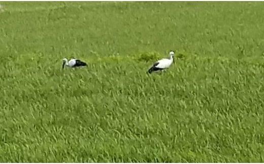 青々とした田んぼにコウノトリが遊びに来ています!