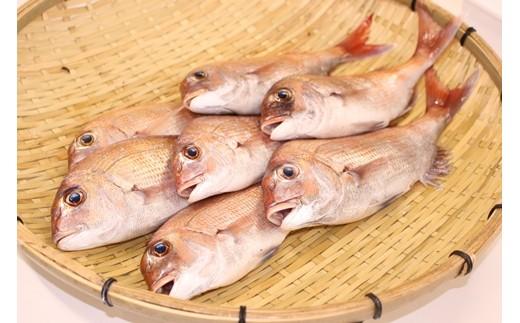 鯛を水揚げしたその日に発送。ウロコ・内臓は処理済みです。