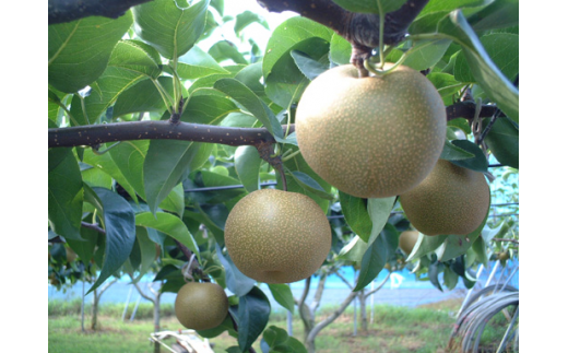 富里市内の梨農園から収穫された厳選した瑞々しい美味しい豊水梨。2Lサイズですが約5Kgご提供致しますので早いものがちです。