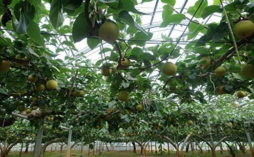 60年以上の歴史がある関東の梨の名産地・埼玉県鴻巣市常光から