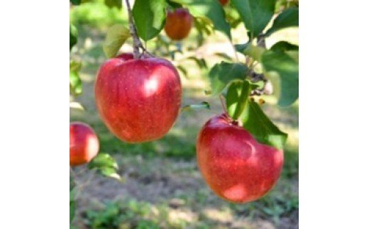 【010-11】幻のりんごあいかの香り3キロ 信州が生んだ希少なりんごです(りんご・リンゴ・林檎)