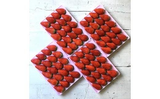 117-3 おかげさまです杉山農園の朝採り大粒イチゴ1.8kg入