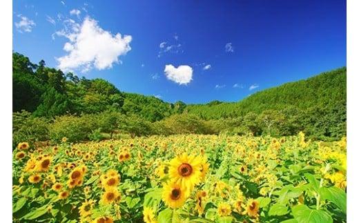 5 ヒマワリ畑と独鈷山とハートの雲(独鈷山麓ひまわり畑)8月撮影
