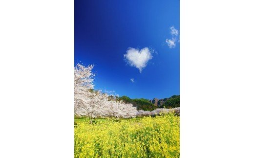 1 菜の花と独鈷山千本桜とハートの雲(独鈷山千本桜) 4月撮影