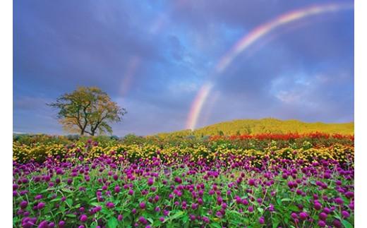 2 千日紅などの花畑と朝のダブルレインボーと木立(信州国際音楽村)10月撮影