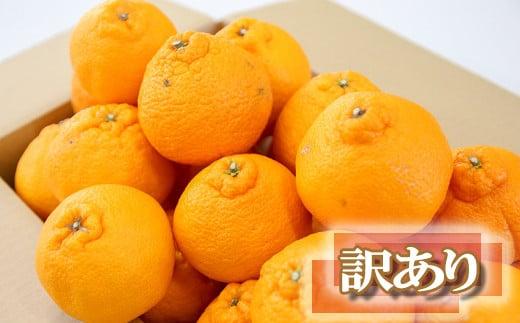 Y02-16 訳あり 旬の不知火(しらぬい)