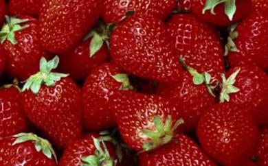 大網白里市発祥のイチゴ「真紅の美鈴」詰合せ