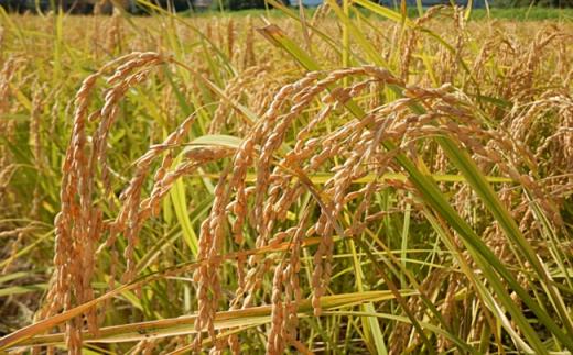 お日様をたっぷり浴びて育ったお米です