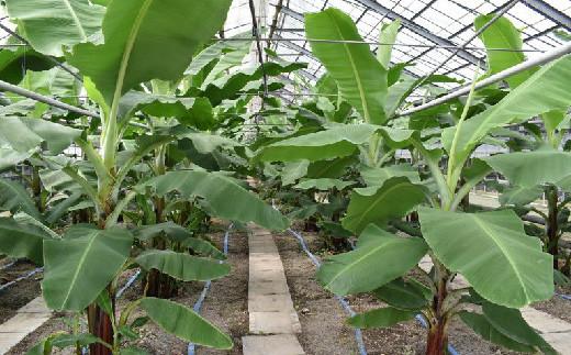 温室ハウス(高知県須崎市)で栽培しているため、害虫を防ぎやすく農薬不使用にて栽培をしています。化学肥料も使用しておりません。