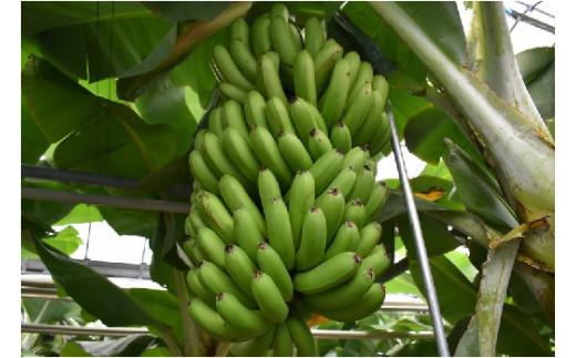 海外産のバナナのように若く青い時期に収穫せず、黄色く完熟するまで樹上で育て上げるので果実がもっちりズッシリしているのが特徴です。