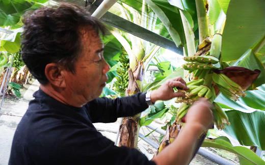 株分け・結実・熟成・出荷まで全工程を農園で行い、一つ一つ愛情を持って育てた自慢のバナナです。