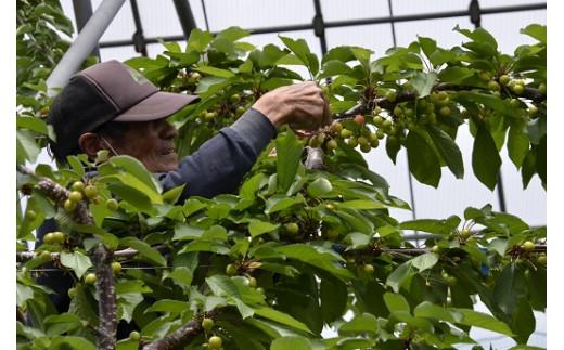 大きなおいしい実が育つように摘果作業中