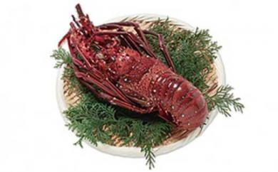 絶品!沖永良部島の漁師が素潜りでとった天然イセエビ 1匹