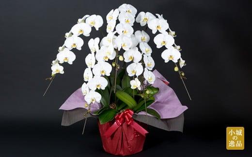 大輪胡蝶蘭(5本立)お祝い 立て札 対応 産地直送