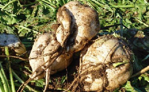 甜菜(てんさい)糖を使用していますので、上白糖などの精製糖を控えている健康志向の方にもおススメです。