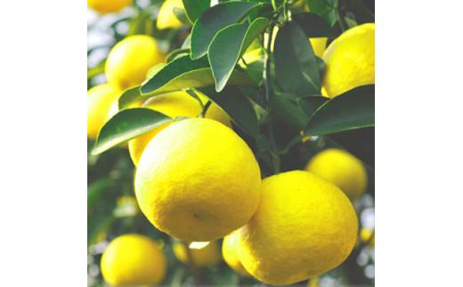 鮮やかな黄色が南国宮崎をイメージさせる日向夏