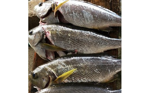 朝市には水揚げされたばかりの魚がずらりと並びます!