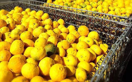 高知県は日本一のゆずの生産地で、南国の強い日差しを沢山浴びて育った高知のゆずにはレモンの約2倍ものビタミンCが含まれています。