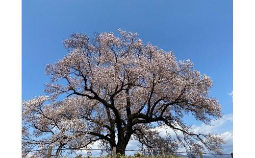 わに塚の1本桜