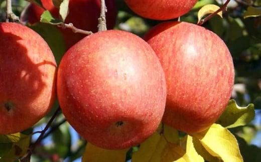 甘味と酸味のバランスが良く、歯ごたえも良いことから多くの方に愛されているりんごです。