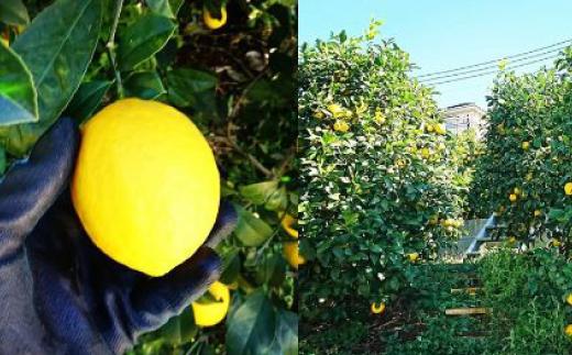 実りの様子。普通のレモンよりも丸型なのが特徴!