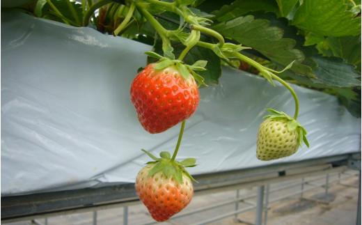 イチゴ農家さんとのコラボ商品用のイチゴです。