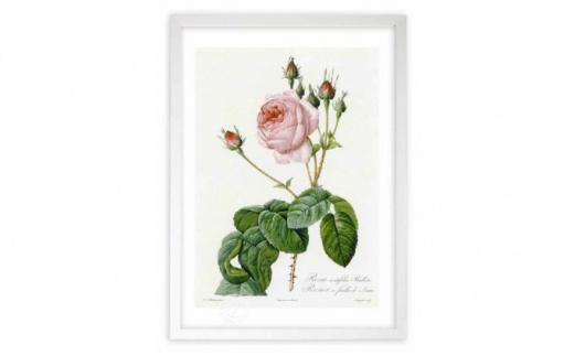 [№5672-0441]【ジクレー版画】ルドゥーテのバラ(ピンク:ケンティフォリア・ブラータ)