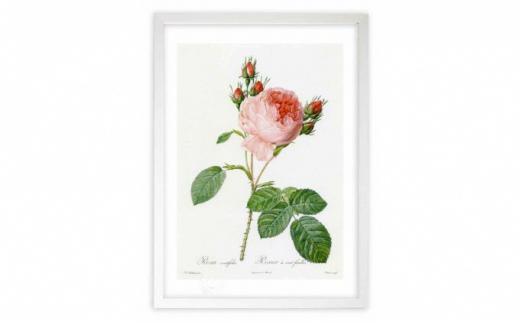 [№5672-0442]【ジクレー版画】ルドゥーテのバラ(ピンク:ケンティフォリア)