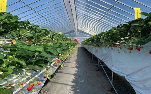 高設栽培いちご『紅カムイ』冷凍2kg品種:信大BS8-9【08002】
