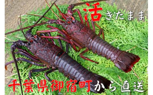 C101 活伊勢海老420g(180~230g×2尾)