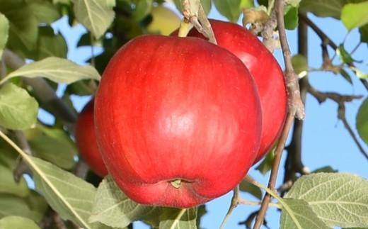 りんご【紅玉】20~28玉 約5kg【2021年産・先行受付分です】