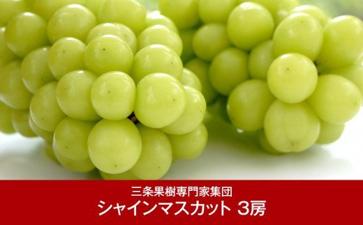 【016P035】[三条果樹専門家集団] シャインマスカット3房