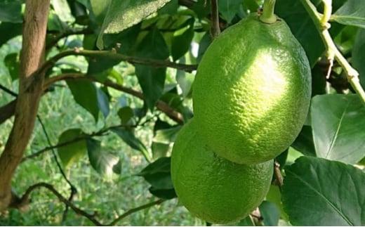[№5850-0607]グリーンレモン(露地栽培)約2.5kg