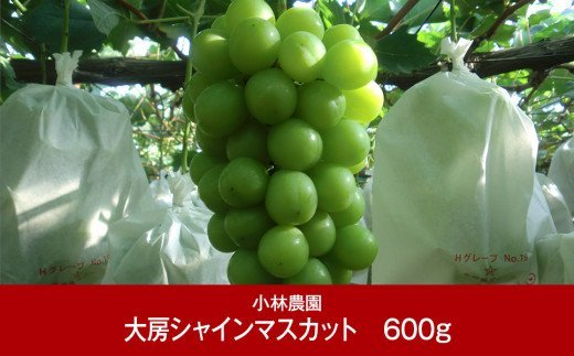 【010P080】[小林農園]新潟フルーツ 新潟県産 ぶどう 大房シャインマスカット 600g