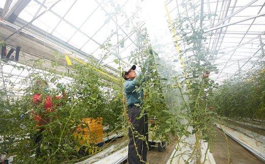 """今注目の""""アイメック農法""""という特殊なフィルムを使用し栽培"""