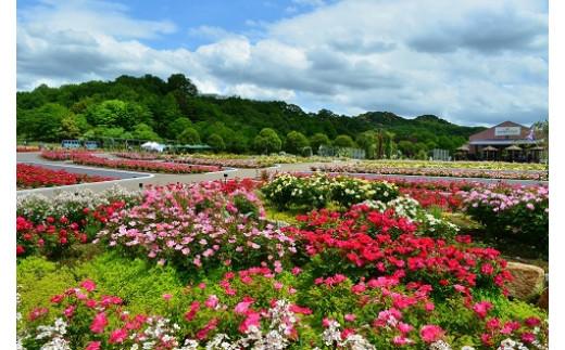 公園 花 フェスタ 記念 花フェスタ記念公園のバラの2021年の見頃は?バラ祭り(ローズウィーク)の開催は?